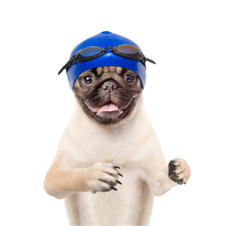 Dog with swimming hat and glasses. isolated on white background.