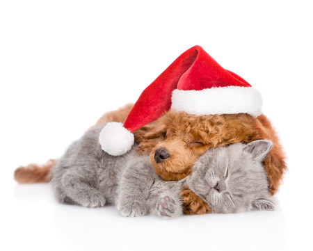 Photo pour Sleeping poodle in red christmas hat hugs a kitten. isolated on white background. - image libre de droit