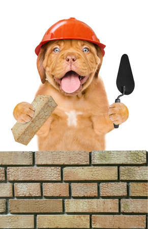 Funny puppy builder with a trowel and brick constructing a brick wall. Isolated on white background.