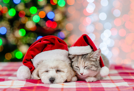 Photo pour Sleeping bichon frise puppy and cat in red santa hats on a background of the Christmas tree. - image libre de droit