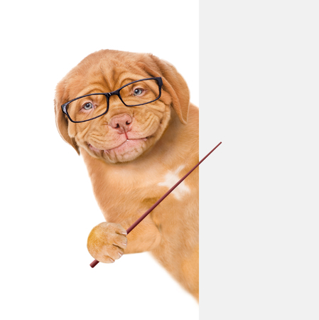 Photo for Smart dog with eyeglasses holds a pointing stick and points on empty banner. isolated on white background. - Royalty Free Image