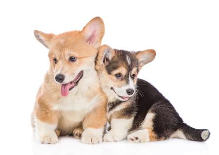 Photo pour Two cute pembroke welsh corgi puppies together. isolated on white background. - image libre de droit