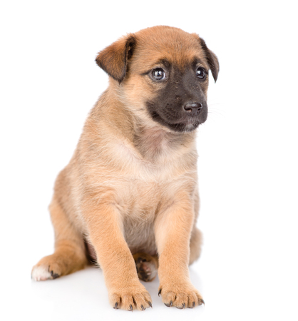 Photo pour Mongrel puppy sitting. isolated on white background. - image libre de droit