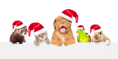 Photo for Group of pets in red christmas hats peeking over empty white board. isolated on white background. Space for text. - Royalty Free Image