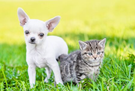 Photo pour Portrait of a chihuahua puppy and a kitten on green summer grass. - image libre de droit