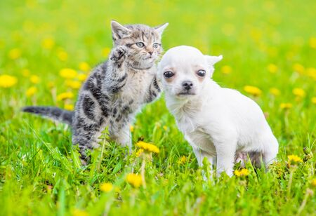 Photo for Playful tabby kitten with chihuahua puppy on green grass. - Royalty Free Image