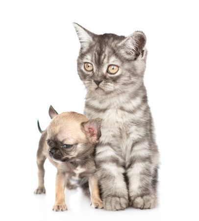 Photo for Tabby cat and little chihuahua puppy looking away together. Isolated on white background. - Royalty Free Image