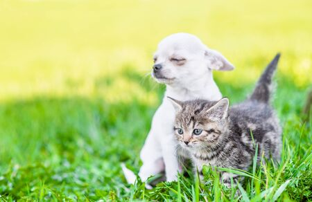 Photo pour White chihuahua puppy and tabby kitten sitting together on green summer grass on a sunny day and looking away on empty space. - image libre de droit