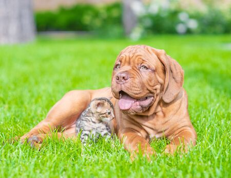 Photo pour Bordeaux Mastiff puppy lying with baby bengal kitten on green summer grass. - image libre de droit