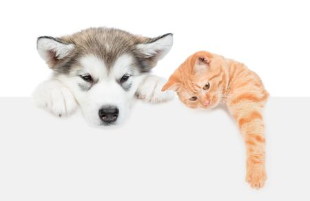 Photo pour Alaskan malamute puppy and tabby cat over empty white banner. isolated on white background. - image libre de droit