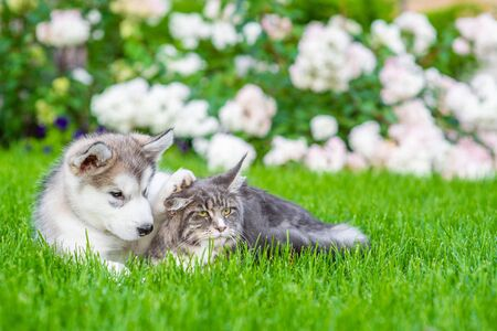 Photo pour Maine coone cat and alaskan malamute puppy lying together on green summer grass. - image libre de droit