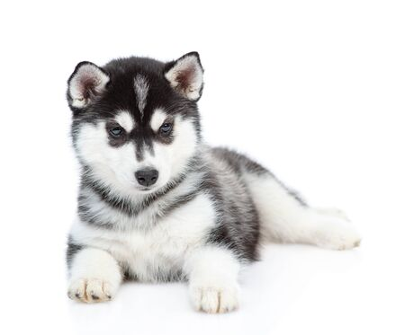 Photo pour Siberian Husky puppy lies in front view and looks at camera. isolated on white background. - image libre de droit