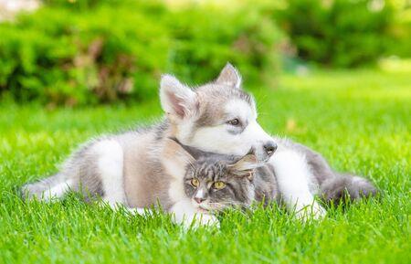 Photo pour Alaskan malamute puppy hugs adult maine coon cat on green summer grass. - image libre de droit