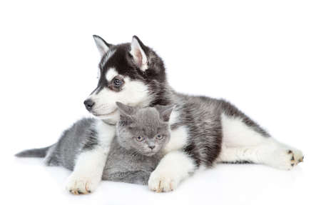 Photo for Siberian Husky puppy hugs british kitten and looks away. isolated on white background. - Royalty Free Image