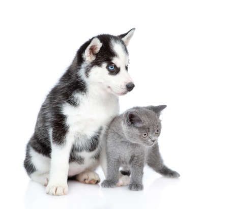 Photo pour Siberian Husky puppy and british kitten look away together. isolated on white background. - image libre de droit