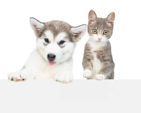 Photo pour Alaskan malamute puppy and young cat over empty white banner look at camera. isolated on white background. - image libre de droit