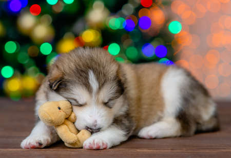 Photo for Funny Alaskan malamute puppy sleeps with toy bear with Christmas tree on background. - Royalty Free Image