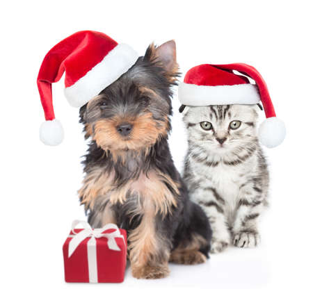 Photo for Yorkshire Terrier puppy and gray kitten wearing red christmas hats sit together with gift box. isolated on white background. - Royalty Free Image