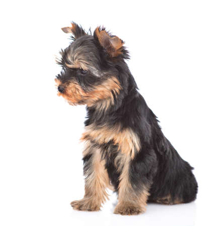 Photo pour Portrait of a Yorkshire Terrier puppy sitting in side view and looking away. Isolated on white background. - image libre de droit