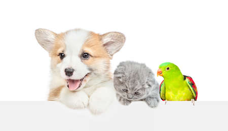 Photo for Corgi puppy with kitten and parrot look over empty white banner together. isolated on white background. Empty space for text. - Royalty Free Image