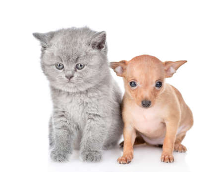 Photo pour Tiny toy terrier puppy and british kitten sit together in front view. isolated on white background. - image libre de droit