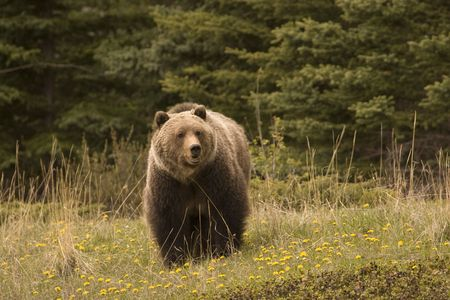 Large grizzly shot in Jasper National Park