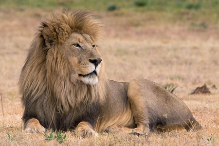 Photo pour beautiful lion kruger national park - image libre de droit