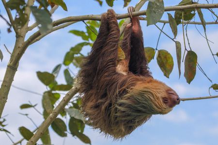 Photo pour A sloth in the Cahuita National Park Costa Rica - image libre de droit