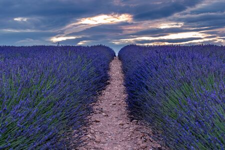 Photo for French landscape - Valensole. Sunset over the fields of lavender in the Provence (France). - Royalty Free Image
