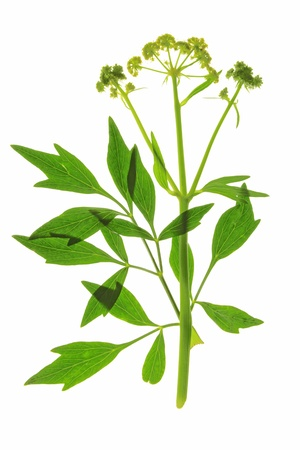 Lovage - Levisticum officinale - before a white background