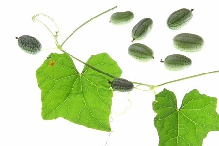 Mexican Mini Cucumber  Melothria scabra , vine with leaves and fruits against white background