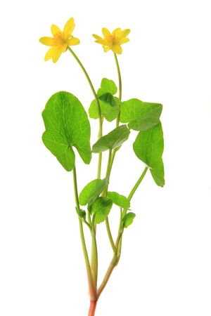 Blooming lesser celandine  Ficaria verna, Ranunculus ficaria , isolated inl front of white background