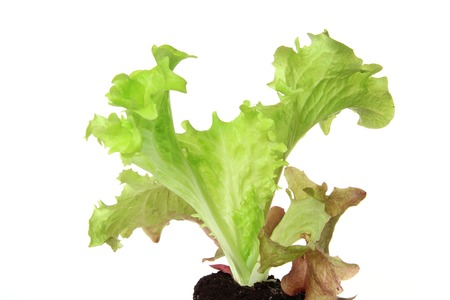 Salad seedling of leaf lettuce variety Lollo Rosso (Lactuca sativa var. crispa), isolated inl front of white