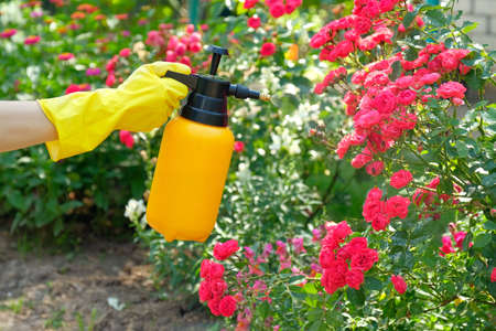 Photo for Woman with protective gloves spraying a blooming roses in garden. Using garden spray bottle with pesticides to control insects and plant diseases. - Royalty Free Image