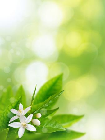 Photo pour Orange white flowers on the spring blurred garden vertical background. Neroli blossom - image libre de droit