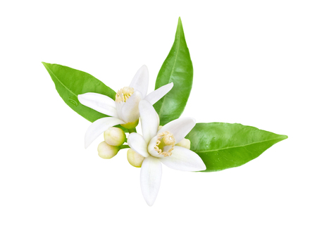Photo for Orange tree white fragrant flowers, buds and leaves isolated on white. Neroli blossom. - Royalty Free Image