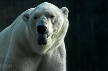 A cheegy polar bear with a long tongue