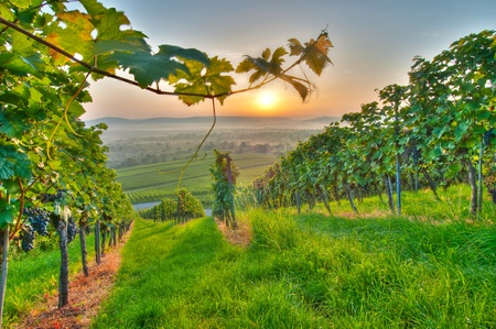 Summer in a vineyard of Germany
