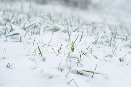 Green grass snowbound in snow of the winter
