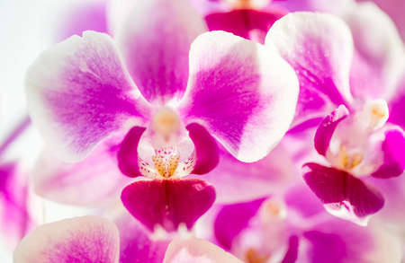 Photo pour Pink purple white Phalaenopsis or Moth dendrobium Orchid flower in winter in home window tropical garden. Floral nature background. Selective focus. - image libre de droit