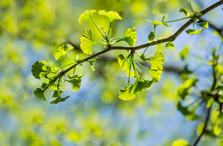 Photo pour Ginkgo biloba young green leaves on a tree in spring - image libre de droit