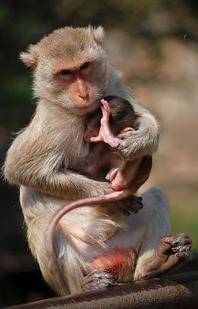 Parenting macaque