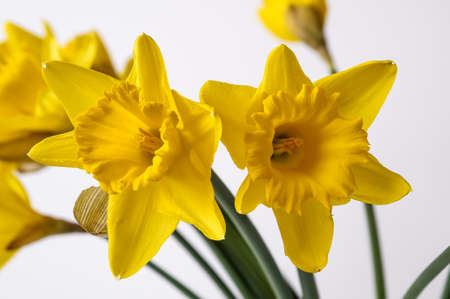 Photo pour Yellow Narcissus trumpet, daffodil, Narcissus pseudonarcissus, macro, on a light background, bell-shaped flowers, long leaves, ornamental plant - image libre de droit