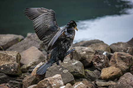 Great Cormorant takes off for fishing in the port of Seydisfjordur Iceland. Phalacrocorax carbo.