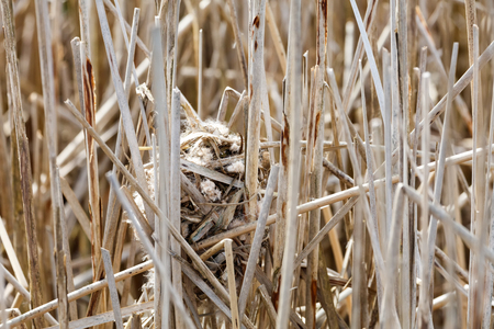 Marsh Wren nest  at Vancouver BC Canada,