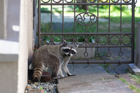 Photo for Raccoon in backyard at Vancouver Canada - Royalty Free Image