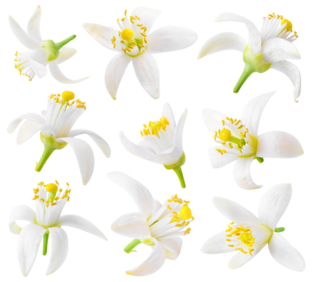 Photo pour Isolated orange flowers. Collection of orange tree blossoms isolated on white background - image libre de droit