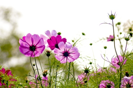 Photo pour Cosmos bipinnatus cloroful flowers garden in spring - image libre de droit