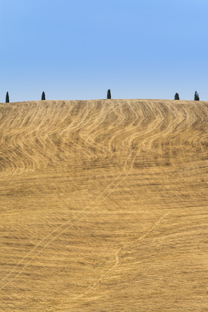 Foto per Series of trees in Val d'Orcia with yellow grass, minimal landscape - Immagine Royalty Free