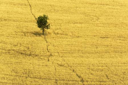 Foto per Lone tree in yellow field - Immagine Royalty Free